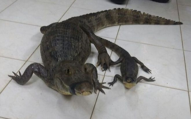 Rescatan a cocodrilo y a su cría detrás del  Colegio José Daniel Crespo