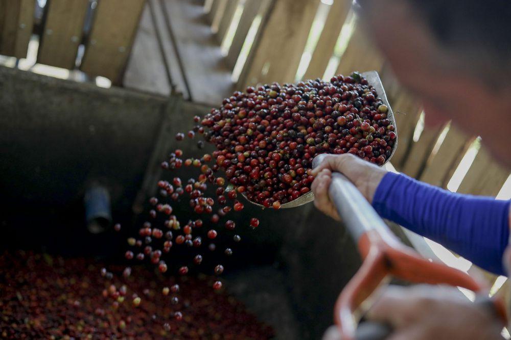 Panamá solicitará licencia a importadores de café tostado, deberán cumplir con varias normas