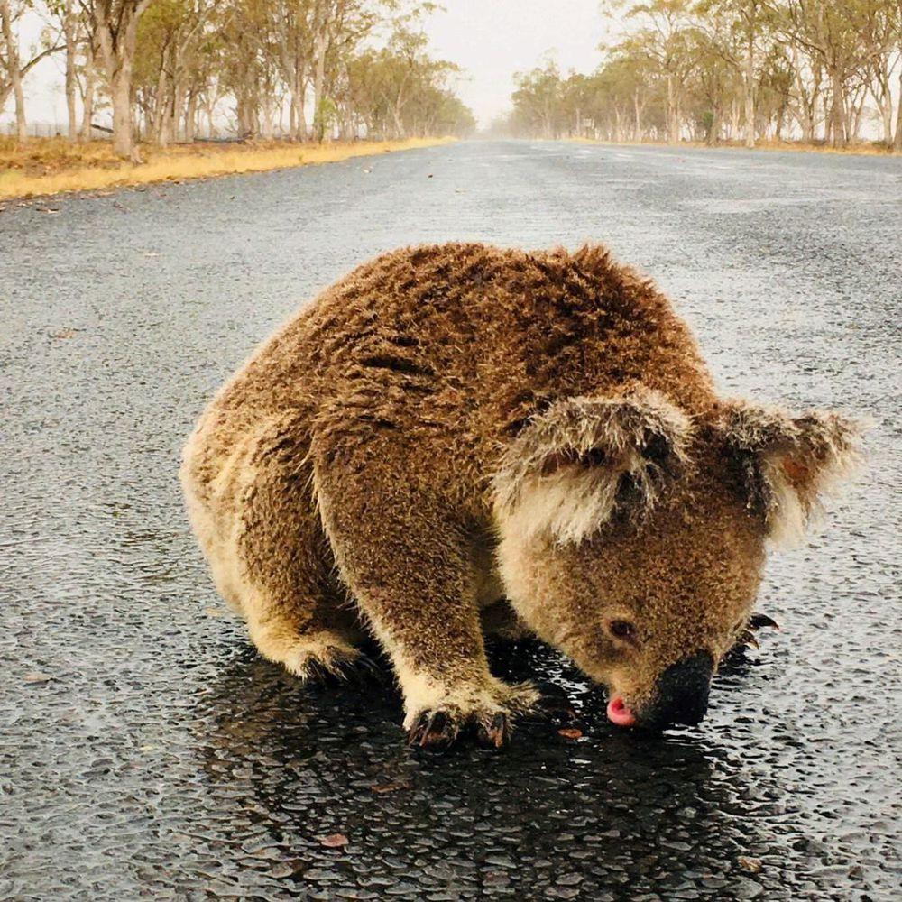 El impactante momento en que un koala lame el asfalto mojado en carretera de Australia para saciar su sed