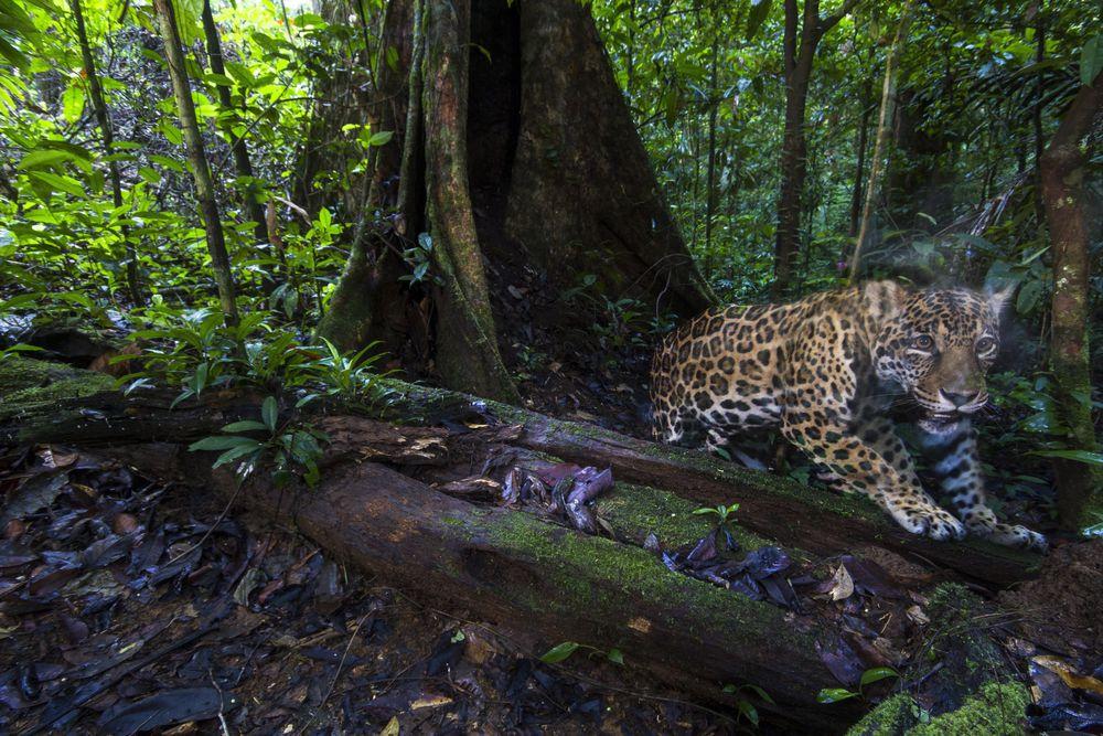 Capturan imágenes de alta resolución de jaguares cerca del Amazonas