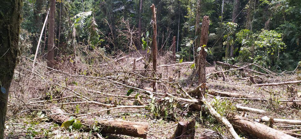 Pueblo Naso pide a gritos cese la tala ilegal de árboles